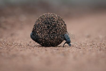 dung, beetles, , scarabaeus, zambesianus, , roll, a - 30680958